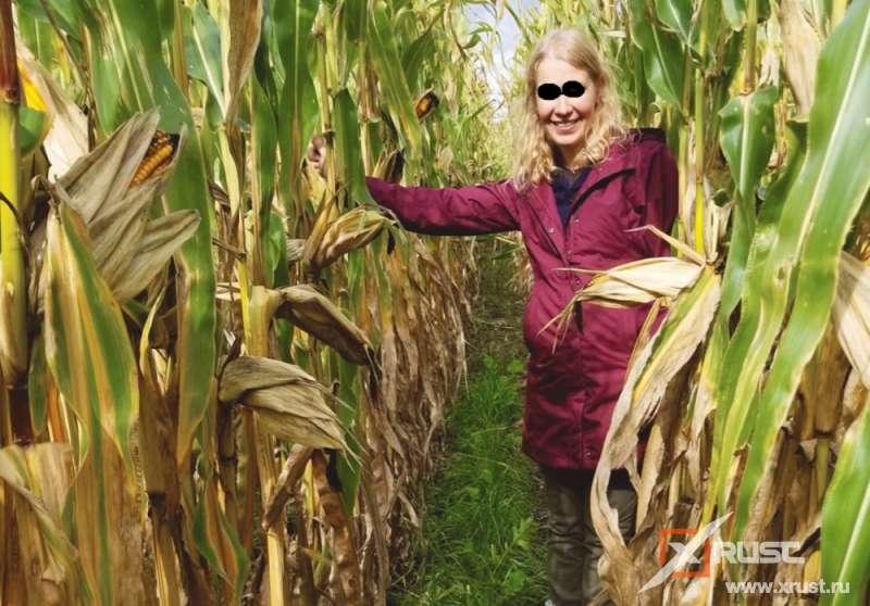 Кукуруза, приспособленная к засухе, преподнесла сюрприз